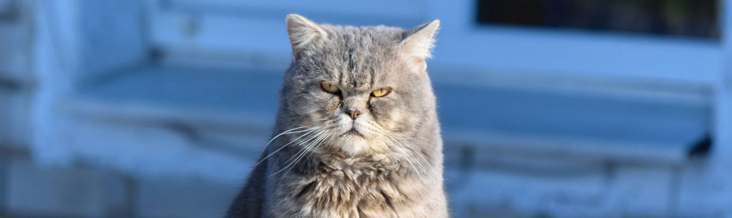 鋭い目の猫
